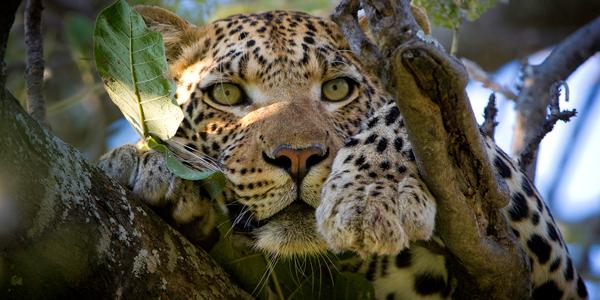 Leopard at the Wilderness Vumbura Plains camp in Botswana - Photo by Dana Allen